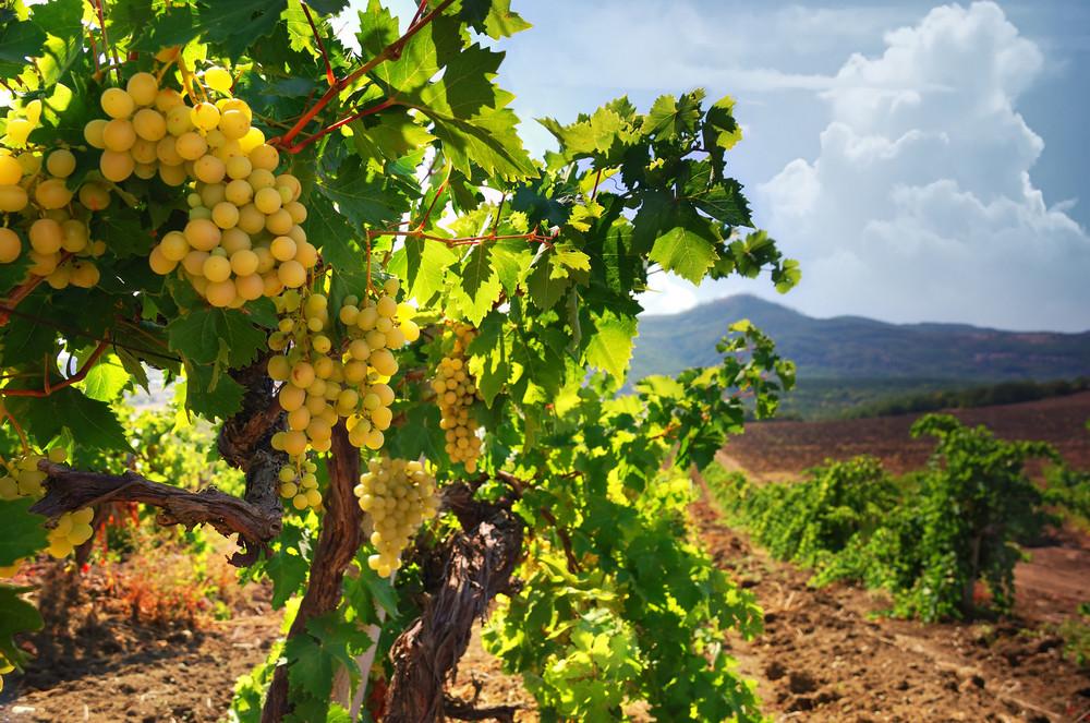 Виноградники возле горы Перчем в Судаке